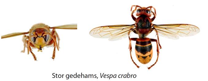 Hvepsearter3